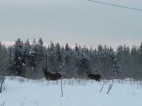 elanden in de sneeuw. altijd een verrassing!