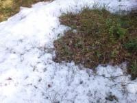 Een groen tapijt onder de sneeuw
